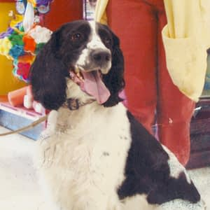 Tessie the English Springer Spaniel | Spring Forth Dog Academy in Providence, RI