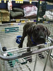 Puppy Socialization in Shopping Cart