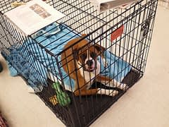 Boxer in a Crate