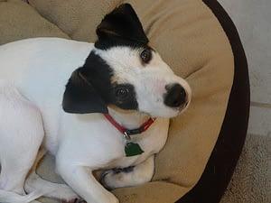 Terrier Head Tilt