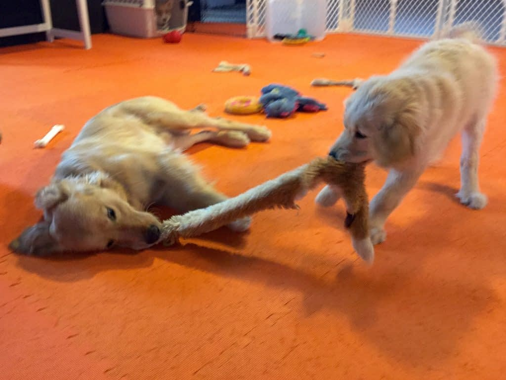 Golden Retriever Puppies Playing Tug