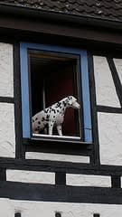 Dalmatian in Window